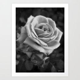 Pink Roses in Anzures 2 B&W Art Print