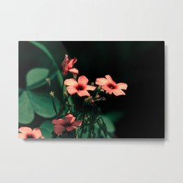 Clovers, night shot of peach color blossoming flowers close up Metal Print