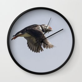 Atlantic puffin in flight with her sand eels Wall Clock