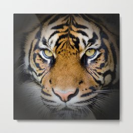Tiger in the shadow Metal Print