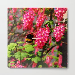 Bumble Bee and Blood Currant Ribes Sanguineum std Metal Print