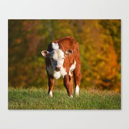 What are you looking at? Jenne Farm Cow Reading Vermont Canvas Print