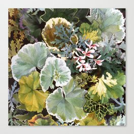 Geraniums Galore Canvas Print