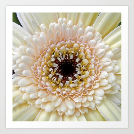 gerbera bloom IV Art Print