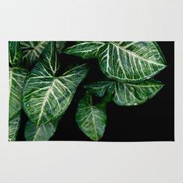 Green leaf of Colocasia esculenta Rug