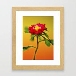 Dwarf zinnia Framed Art Print