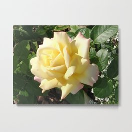 Yellow rose in the garden Metal Print