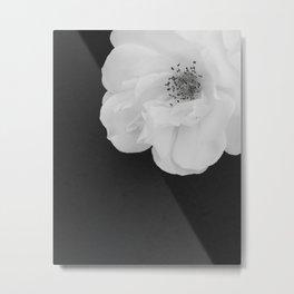 B&W White Rose, Rosa Chinensis, on Black Backdrop Metal Print