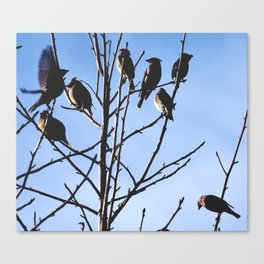 cedar waxwings Canvas Print