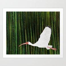 American White Ibis In Flight Art Print