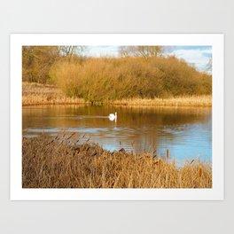 Swan in a golden pond Art Print