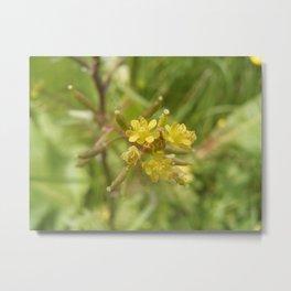 Rorippa Palustris Delicate Pale Mustard Flower Metal Print