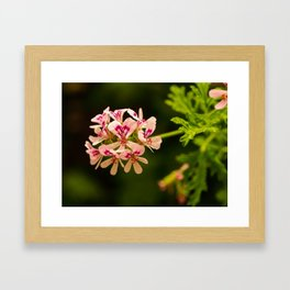 Rose Geranium Flower Framed Art Print