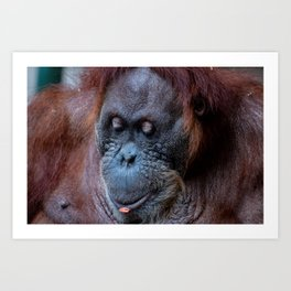 Portrait of a female orangutan Art Print