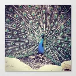 Peacock Beauty  Canvas Print