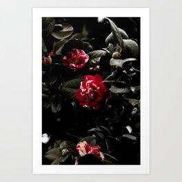 Winter Camellias Art Print