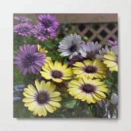 Yellow and Purple African Daisies Metal Print