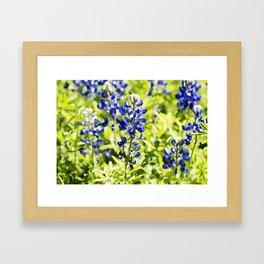 Texas Bluebonnet Up Close Framed Art Print