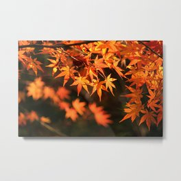 Red and orange Japanese Maple Leaves In Fall Photography Metal Print