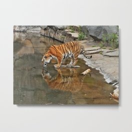 lonely tiger in the water Metal Print