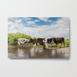 Herd of cows walking across pool Metal Print
