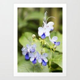 Blue Glory Bower Flowers Art Print