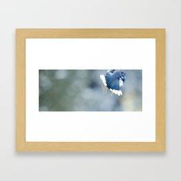 Blue Jay in Flight Framed Art Print