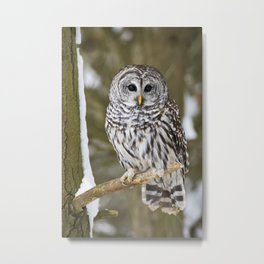 Barred Owl Perched in a Tree Metal Print