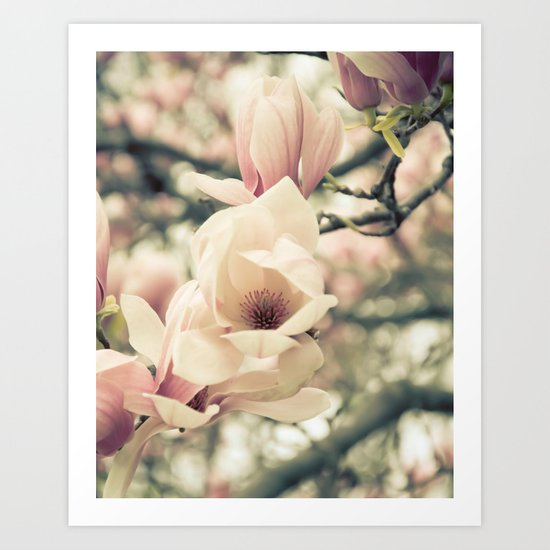 Magnolia Tree Bloom.  Flower Photography Art Print