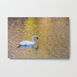 Swan Sipping Water Metal Print
