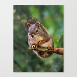 Who, Me? A Saucy Red Squirrel Canvas Print