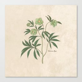 The Christmas Rose Canvas Print