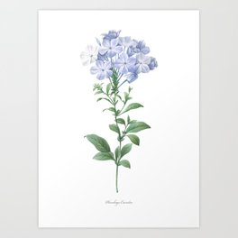 HIGHEST QUALITY botanical poster of Plumbago Art Print