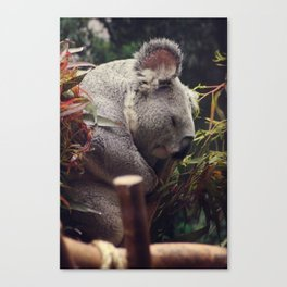 sleeping koala Canvas Print