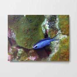 Blue Chromis Above Hard Coral Metal Print