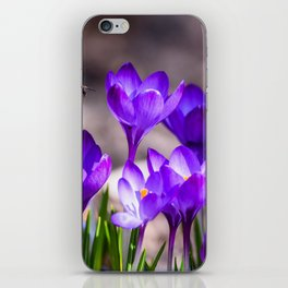 Flying bee over purple crocuses at flower bed in garden. Spring time. iPhone Skin