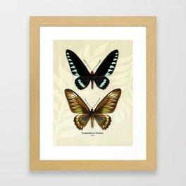 Butterfly16_Trogonoptera Trojana • Pair Framed Art Print