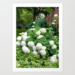 Bountiful White Hydrangea's Art Print