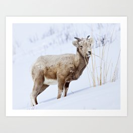 Big Horn Sheep in the Snow Art Print