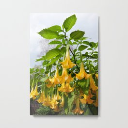 Big yellow Brugmansia called Angels Trumpets Metal Print
