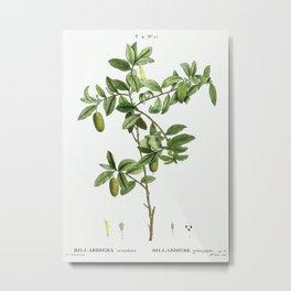Apple berry (Billardiera scandens) from Traité des Arbres et Arbustes que l'on cultive en France en Metal Print