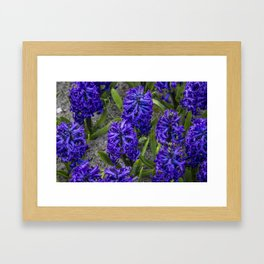 Close-up of Beautiful, Deep Purple Hyacinths in Amsterdam, Netherlands Framed Art Print