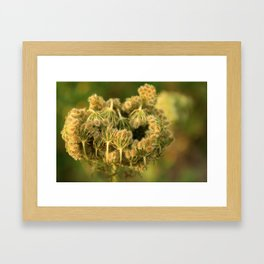 Queen Anne's Lace Flower About to Bloom Framed Art Print