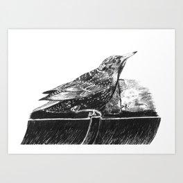Starling Drinking Art Print
