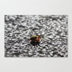 Marbled Orb Weaver Canvas Print