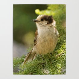 Profile of a Grey Jay / Whiskeyjack Poster