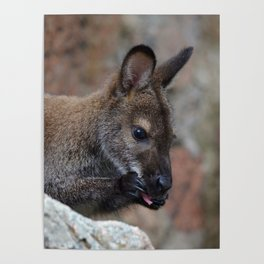 Baby Wallaby Cleaning Himself Poster