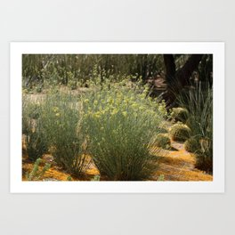 Palo Brea Blossoms Around Desert Milk Weed Art Print