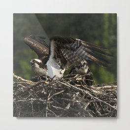 Osprey Mother and Fledgling Metal Print