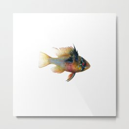 Blue Ram Dwarf Cichlid Female Aquarium Fish Metal Print